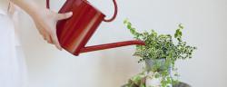 Zimmerpflanzen-Bewässerung-KPG Payless2-Shutterstock.com