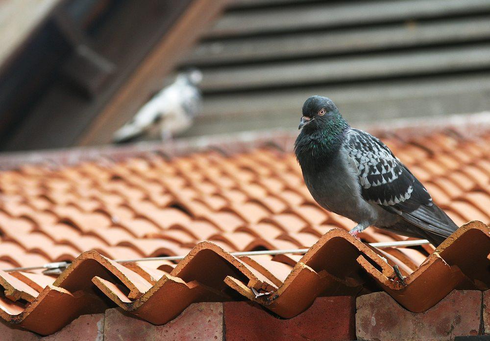 Einfache und bewährte Methoden helfen die Tauben vom Dach, Balkon oder Garten fern zu halten und verhelfen zu ungestörter Ruhe und Gesundheit. (Bild: warin CHUA KOK BENG MARCUS / Shutterstock.com)
