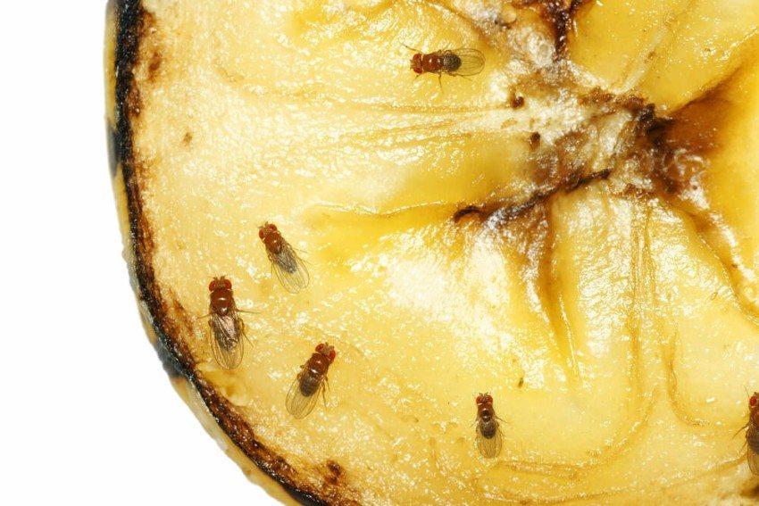 Fruchtfliegen sind klein und weitgehend harmlos, doch lästig sind sie allemal. (Bild: © Sylvie Bouchard - shutterstock.com)