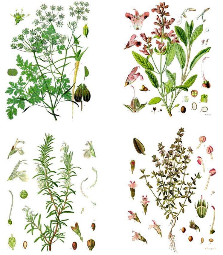 Parsley (Petersilie), sage (Salbei), rosemary (Rosmarin) und thyme (Thymian). (Bild: Franz Eugen Köhler, Wikimedia, public domain)