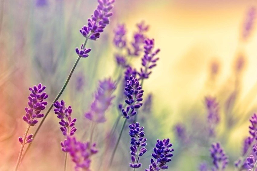 Aus botanischer Sicht gehört der Lavendel zur Familie der Lippenblütler. (Bild: © lola1960 - fotolia.com)