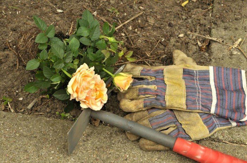Wenn Sie Rosen pflanzen wollen, ist im Herbst die beste Zeit dazu. (Bild: © Carmen Steiner - fotolia.com)