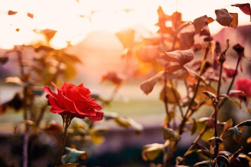 Ein liebevoll gestalteter Rosengarten ist eine herrliche Zierde. (Bild: © Thomas Zsebok - shutterstock.com)