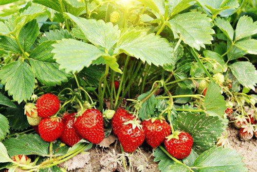Vielerorts ist es möglich, Erdbeeren selber zu pflücken. (Bild: ER_09 – Shutterstock.com)