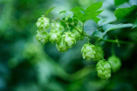 Hopfen ist eine vielseitige Heilpflanze. (Bild: luxorphoto - Shutterstock.com)
