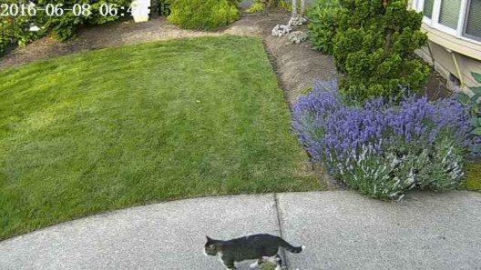 Eine Katze läuft in den Bereich, der die Kamera auslöst. (Bild: © Robert Bond)